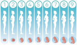 Vector illustration pregnancy woman stages with flat silhouettes of pregnant women and realistic human embryonic stock illustration