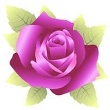 Vector illustration of purple roses isolated on white. Background on white Stock Images