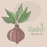 Vector illustration of radish. Hand drawn colorful. Vector illustration of radish. Pastel colors hand drawn Stock Photography