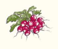 Vector illustration of radish Stock Photography
