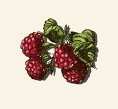 Vector illustration of raspberries Stock Photos