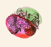 Vector illustration of raspberries Stock Photo