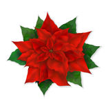 Vector illustration of  realistic christmas red poinsettia flower Stock Photography