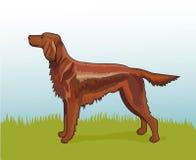 Vector illustration realistic irish setter Royalty Free Stock Image