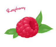 Vector illustration of realistic  ripe raspberry with leaves Stock Photography