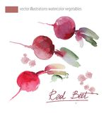 Vector illustration of red beet, set watercolor Stock Photos
