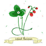 Vector illustration of red strawberries. Vector illustration of watercolor red strawberries, white flowers snd greew leaves on white background. Sweet berries Stock Images