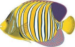 Regal Angelfish Illustration. A vector illustration of a regal angelfish stock illustration