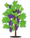Vector illustration of ripe grape on bush. Bush of ripe grape on white background is insulated stock illustration