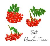 Vector illustration of rowan tree branches set. Red berries and green leaves on white background. Hand drawn Stock Image