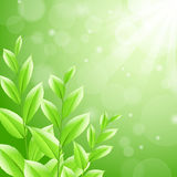 Vector illustration sbackground green tea leaves Stock Photos