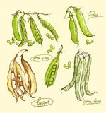 Vector illustration set of green peas. Vector realistic illustration set of green peas Stock Photos