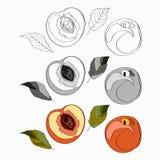 Vector illustration, set. Peach, sliced peach, half peach, peach leaves. Black line, black and white and color image.. vector illustration