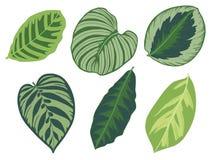 Vector illustration set of six different tropical exotic jungle Marantaceae Calathea prayer plant leaves vector illustration