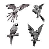 Vector illustration. Seth from parrots in different angles. Black, white, gray. Royalty Free Stock Image