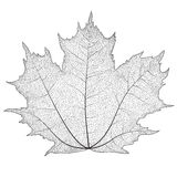 Vector illustration silhouette of veins on a leaf maple. Stock Photo