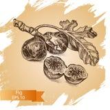 Vector illustration sketch fig. Illustration - exotic fruit. Vector illustration sketch fig. Illustration - exotic fruit card hand drawn Stock Image