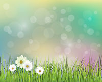 Vector illustration Spring nature field with green grass. White Gerbera- Daisy flowers at meadow and water drops dew on green leaves, with bokeh effect on blue Stock Photos