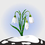 Vector illustration. Spring snowdrop flowers on a snow. Vector illustration. First spring flowers snowdrops in snow. Background Stock Photo