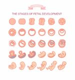 Vector illustration stages of fetal development. isolated on white background. Pregnancy. Fetal growth from fertilization to birth, fetus development. Embryo Royalty Free Stock Image