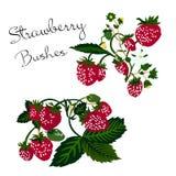 Vector illustration of strawberry bushes on white background vector illustration