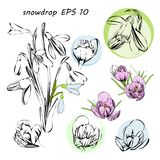Illustration of stylized First spring flowers. Isolated graphic blooming snowdrops, Galanthus nivalis for logo. Vector illustration of stylized First spring Royalty Free Stock Photography