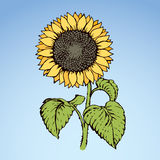 Vector illustration. Sunflower Royalty Free Stock Photos