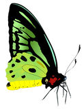 Vector illustration of tropical butterfly. Vector illustration of butterfly with green wings Stock Photos