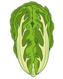 Vector illustration of the vegetable cabbage china. Cabbage of the sort peking on white background is insulated royalty free illustration