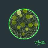 Vector illustration of Volvox -polyphyletic genus of chlorophyte green algae living in ponds, puddles. Vector illustration of Volvox -polyphyletic genus of Stock Photography