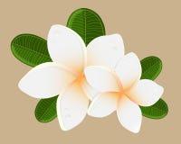 Vector illustration of white Two Frangipani flowers Royalty Free Stock Image