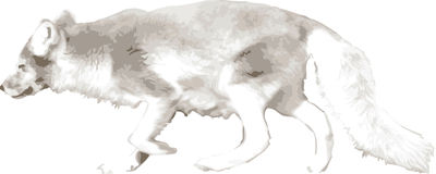 Vector illustration of a wolf Stock Photos