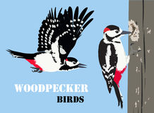 Vector illustration of woodpecker birds. Stock Images