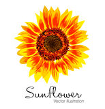 Vector illustration of yellow sunflower. On white background Stock Photo