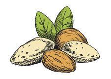 Almonds illustration. Colored version royalty free stock photos