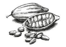 Cocoa beans illustration. Version royalty free stock image
