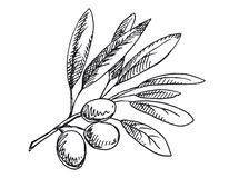 Olive branch illustration. Black and white version stock photography