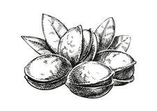 Pistachios sketch illustration. Version stock image