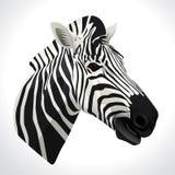 Vector illustration of a zebra Stock Photography
