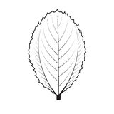 Vector illustrations leaves Royalty Free Stock Image
