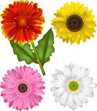 Vector Illustrations of the Sunflower Family. Gaillardia, Sunflower and a Pink and White Gerbera. Each Bloom is grouped for ease of use Stock Photos