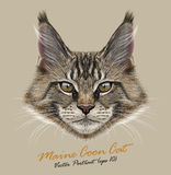 Vector Illustrative Portrait of Maine Coon Cat. Young cute pedigreed kitten portrait Stock Images