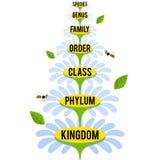 Vector a ilustração com graus taxonomic principais do reino de planta Fotografia de Stock