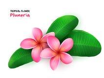 Vector a ilustração da flor de florescência tropical realística isolada do plumeria com folhas ilustração do vetor