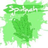 Vector a ilustração do desenho da mão do vegetal com etiqueta e marcas artísticas do respingo e de escova da aquarela spinach Foto de Stock Royalty Free