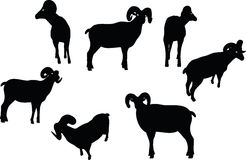 Vector Image - big horn sheep silhouette in walking pose isolated on white background Stock Image