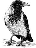 Big crow Royalty Free Stock Photo