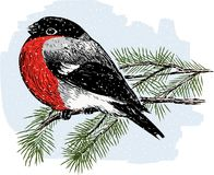 Bullfinch on a fir branch Royalty Free Stock Image