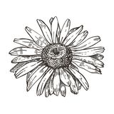 Vector image of daisy flower. Sketch style drawing. vector illustration
