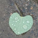 Vector image. Dew set close up , water drops on heart-shaped soft green leaf. On gravel cement ground . Illustration.  royalty free stock image